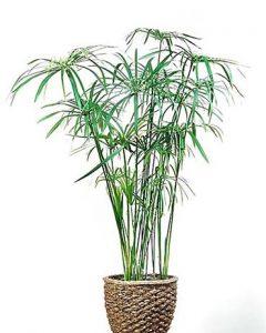 روش های نگهداری از گیاه نخل مرداب