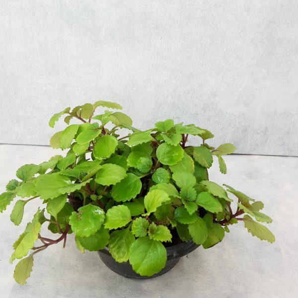 گیاه اشرفی یا پیچک سوئدی حریرگل