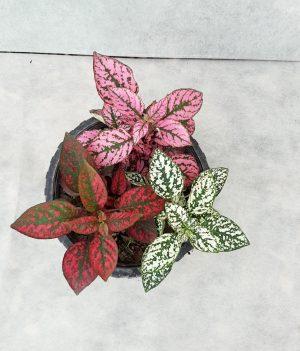 گل سنگ کاسه ای حریرگل
